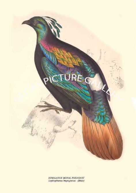 Fine art print of the HIMALAYAN MONAL PHEASANT - Lophophorus Impeyanus by John Gould (1831) reproduced by Segas Picture Gallery.